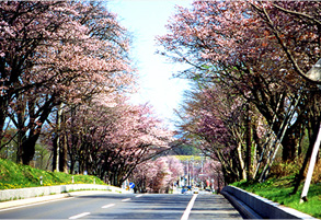 The Cherry Blossom Avenues